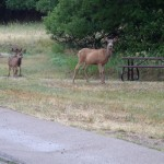 Biche et faons au Morefield Campground